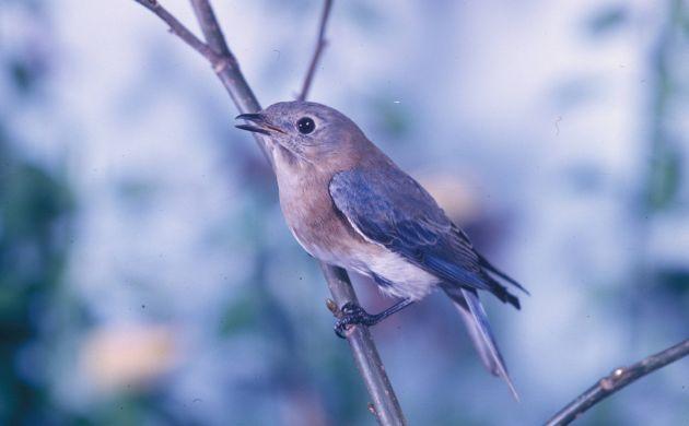 Eastern bluebird by Dan Sudia