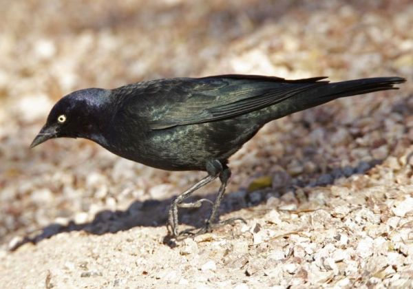 Male Brewer's Blackbird on the ground