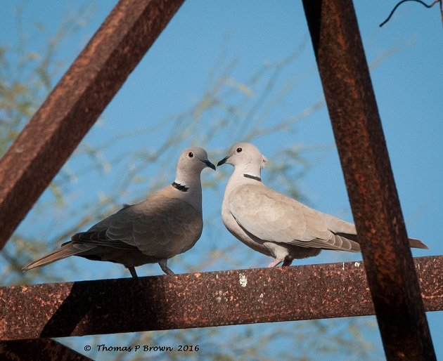 Eurasain Collared Doves