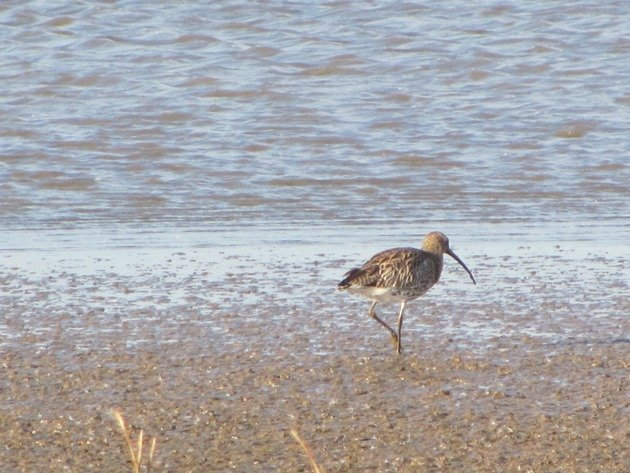 eurasian-curlew