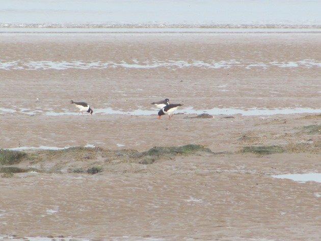 eurasian-oystercatchers