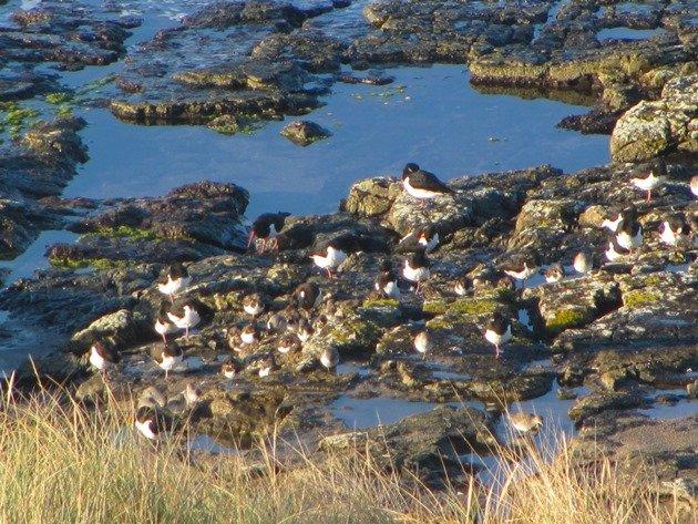 eurasian-oystercatchersdunlin-ruddy-turnstones