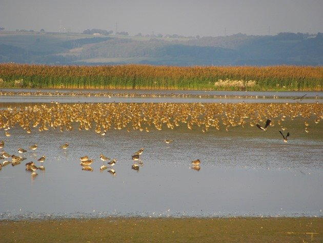 european-golden-plover-northern-lapwing