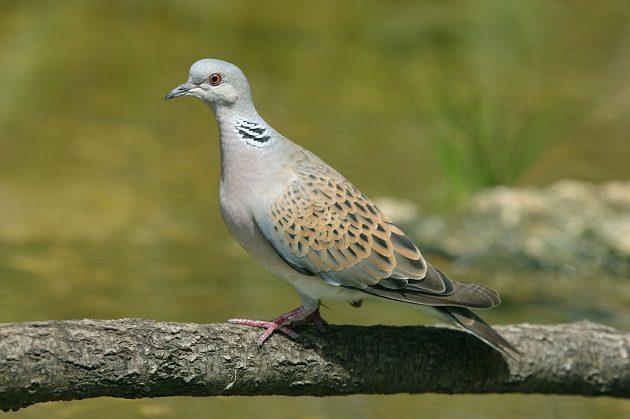 european-turtle-dove_denis-cachia