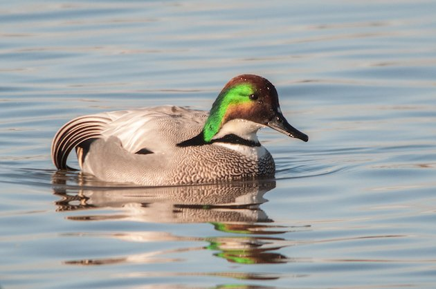Falcated Duck Drake