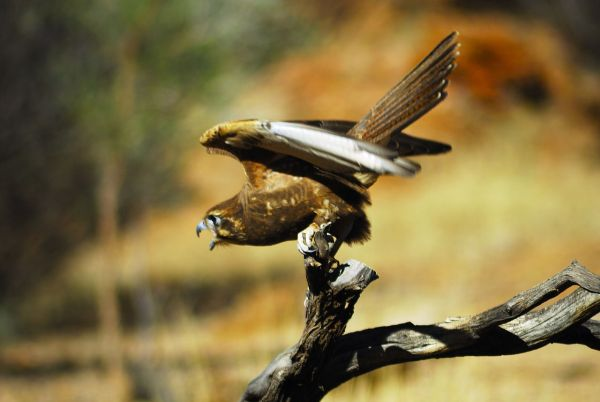 Brown Falcon with wings spread