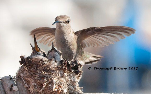 El colibrí de Ana, historia de vida, todo sobre pájaros - laboratorio de Cornell de la ornitología