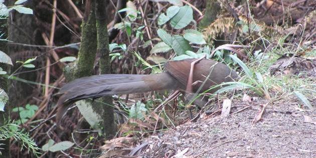 Juvenile Superb Lyrebird
