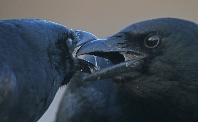 Fun with Fish Crows