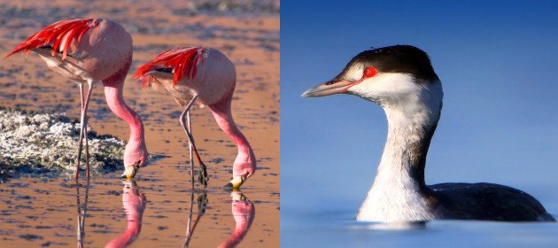 James's Flamingos (by Pedro Szekely) and Horned Grebe (by winnu).