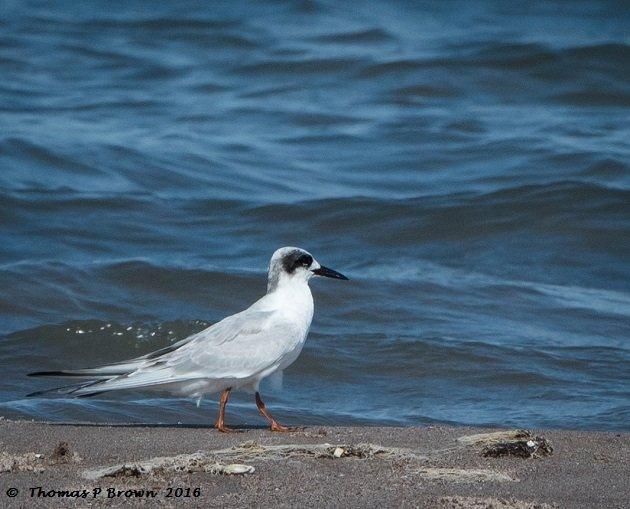 forrester-terns-2