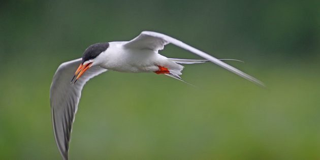 Fun with Forster's Terns