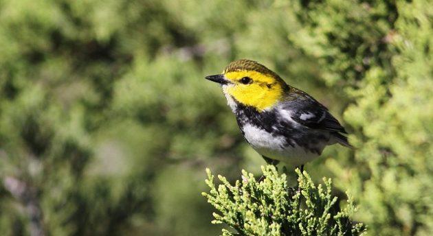 Golden-cheeked Warbler by Cameron Rutt