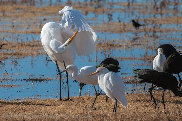 Great Egret, Snowy Egret and Cattle Egret