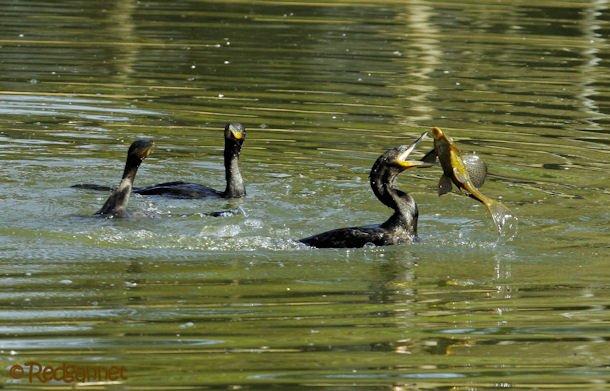 GRU 03Jul16 Neotropic Cormorant 11