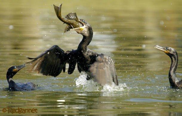 GRU 03Jul16 Neotropic Cormorant 20