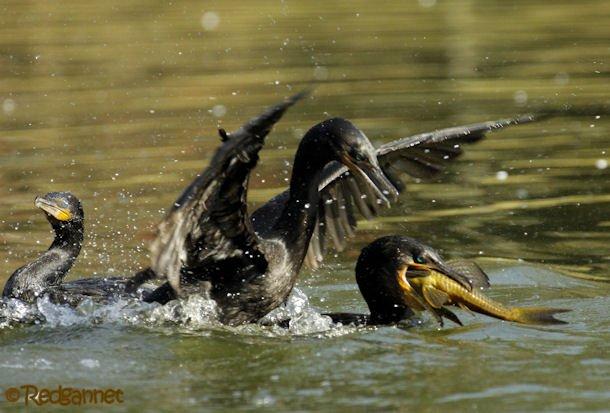 GRU 03Jul16 Neotropic Cormorant 21