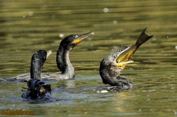 GRU 03Jul16 Neotropic Cormorant 23