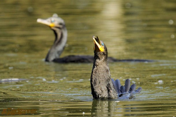 GRU 03Jul16 Neotropic Cormorant 27