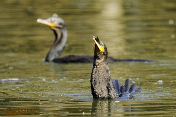 GRU 03Jul16 Neotropic Cormorant 27
