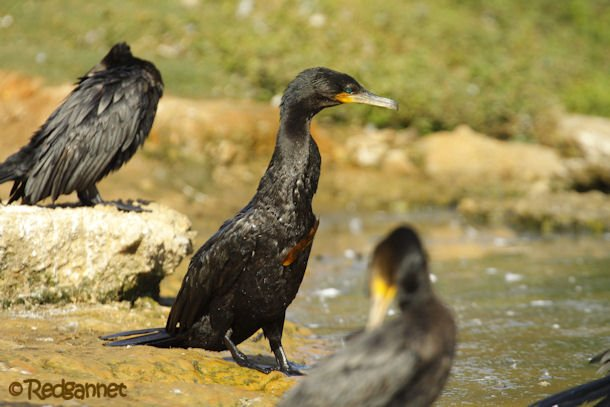 GRU 03Jul16 Neotropic Cormorant 29