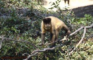 GRU 12May14 Black Cappuchin Monkey 01
