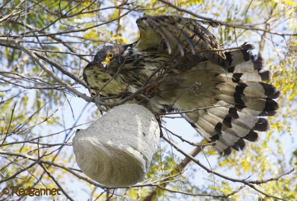 10 000 birds gray headed kite destroys wasp nest 10 000 birds