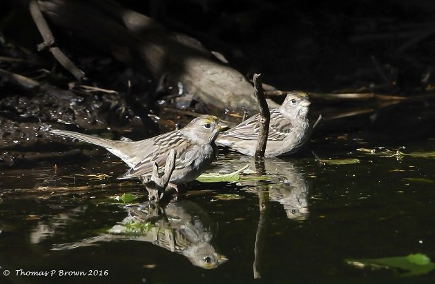 gold-crowned-sparrows