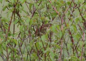 Grasshopper Warbler in bush