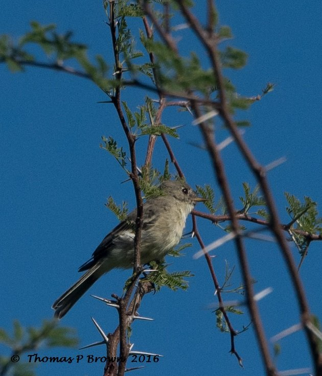 gray-flycatcher