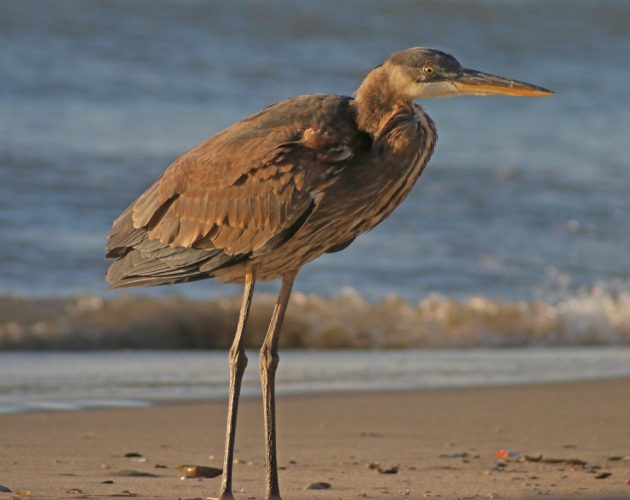 great-blue-heron-on-beach