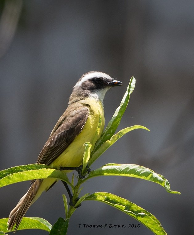 great-kiskadee