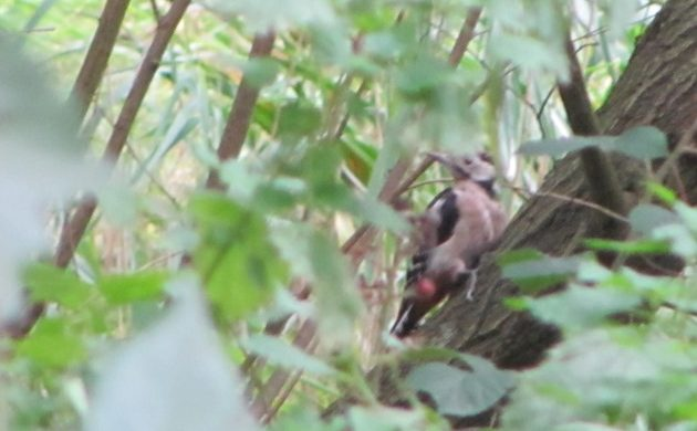 Great Spotted Woodpeckers and European Green Woodpeckers