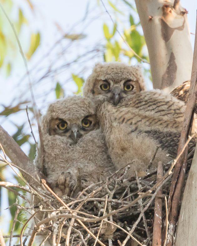 10,000 Birds The Owls of Bentsen-Rio Grande Valley State