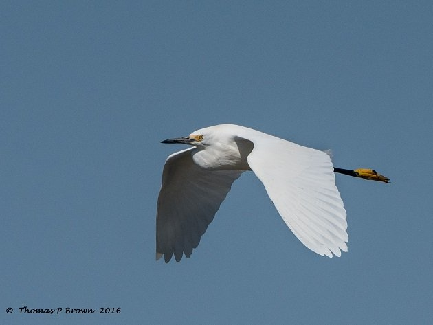 greater-egret