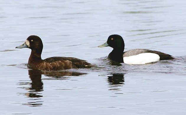 No two scaups are equal