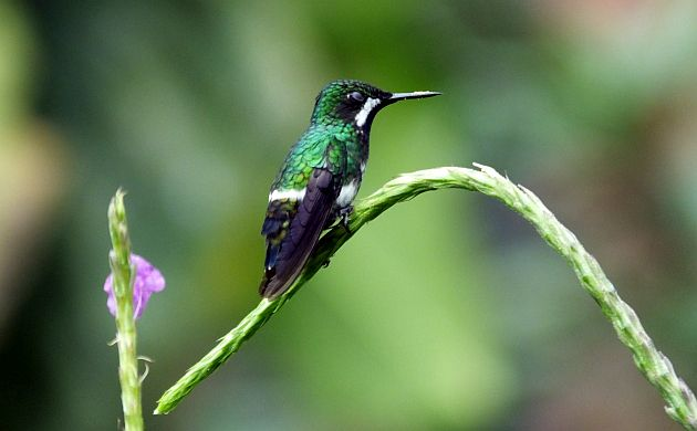 green-thorntail