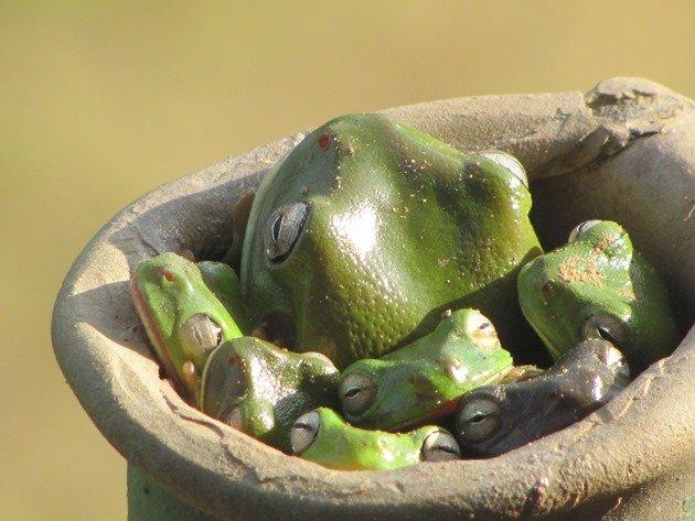green-tree-frogs