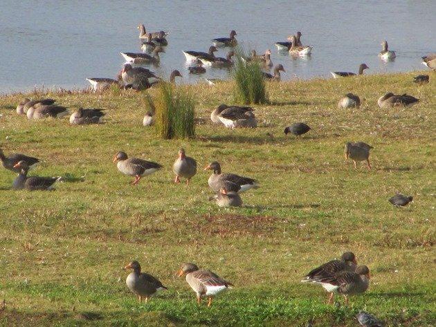 greylag-geese-2
