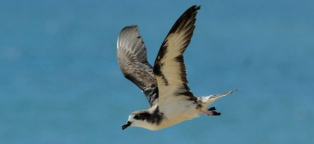 Do Fence Me In: Protecting the Hawaiian Petrel