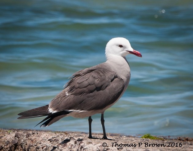 heermanns-gull-feature-pic