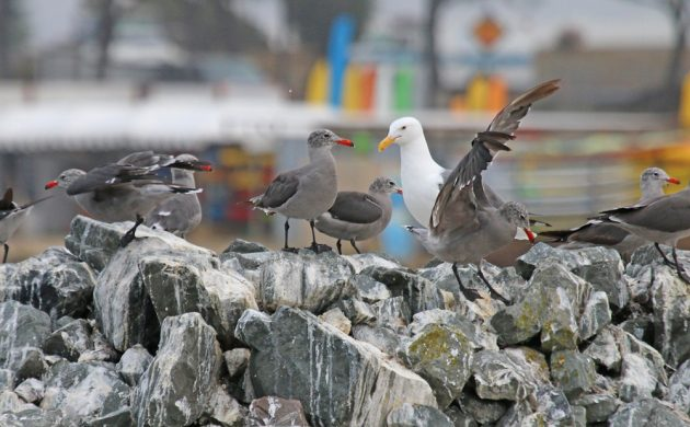 Heermann's Gulls with Western Gull