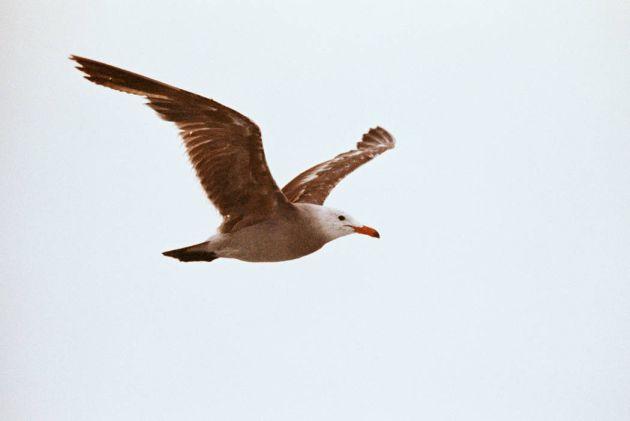 Heermann's Gull in flight