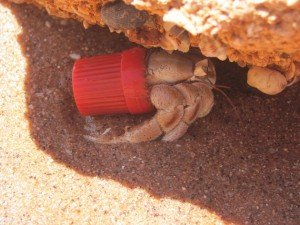 Hermit Crab in lid (2)