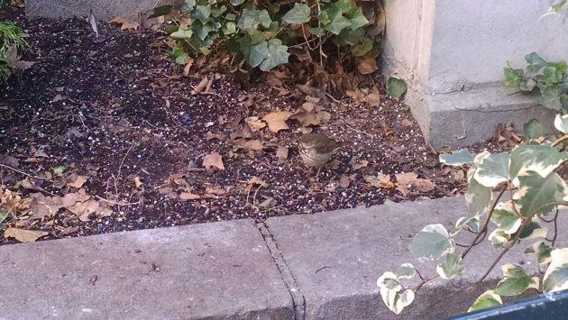 Hermit thrush at Bryant Park
