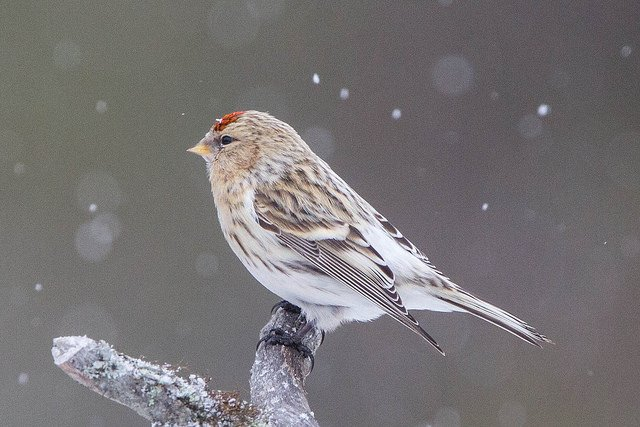 Hoary Redpoll cc-by Ron Knight