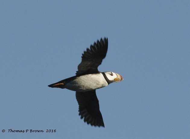horned-puffin-1