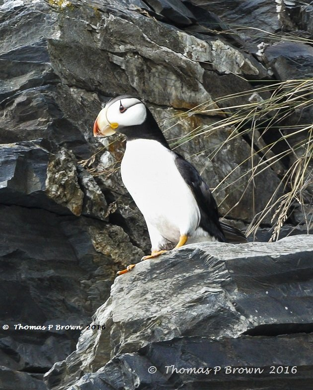horned-puffin-2