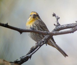 House Finch Yellow Variant