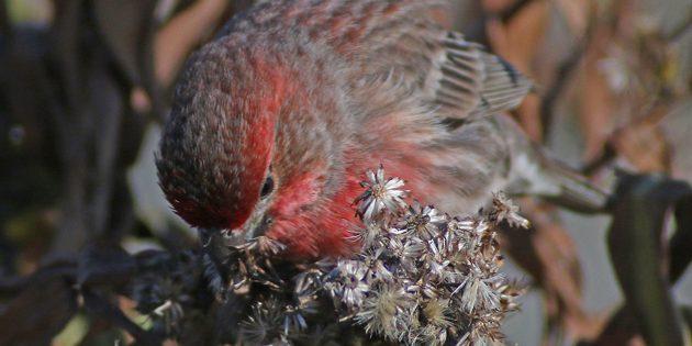 House Finches Feeding on Seaside Goldenrod